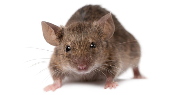 Mouse Pest Control in and near Homosassa Springs Florida
