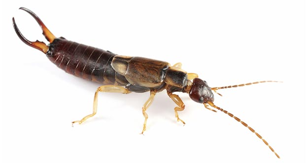 Earwig Pest Control in and near New Port Richey Florida