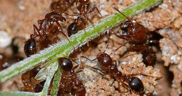 Fire Ant Pest Control in and near New Port Richey Florida