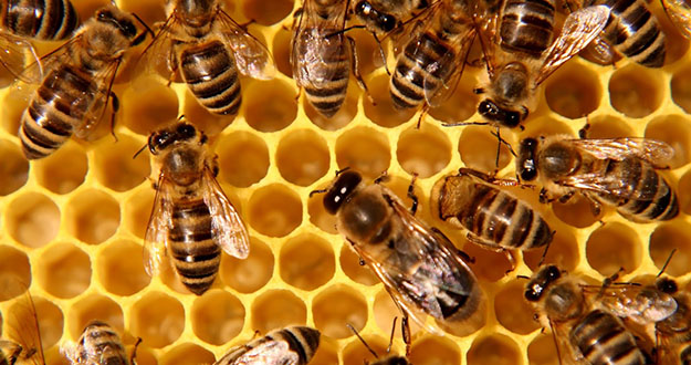 Honey Bee Pest Control in and near Spring Hill Florida