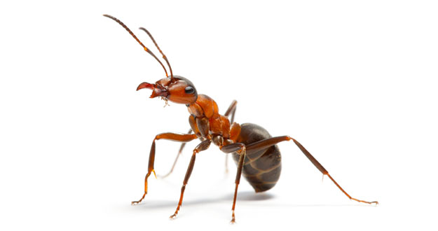 Ant Pest Control in and near Tampa Florida