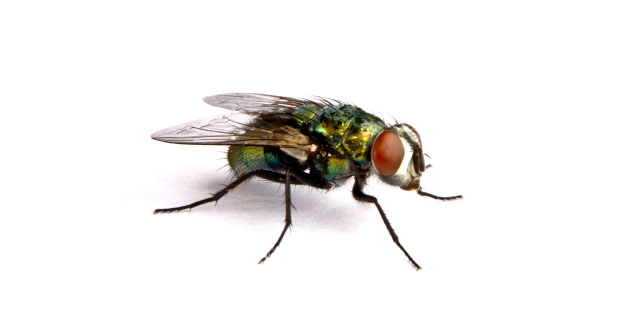 Fly Pest Control in and near Tampa Florida