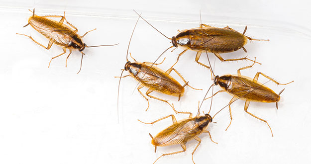 German Roach Pest Control in and near Tampa Florida