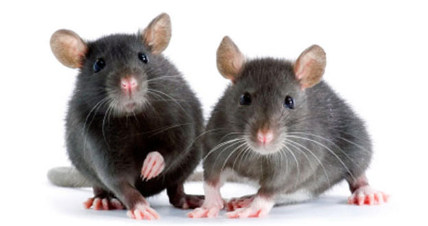 Mice Pest Control in and near Tarpon Springs Florida