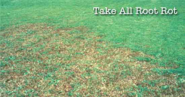 Take all Root Rot Control in and near Wesley Chapel Florida